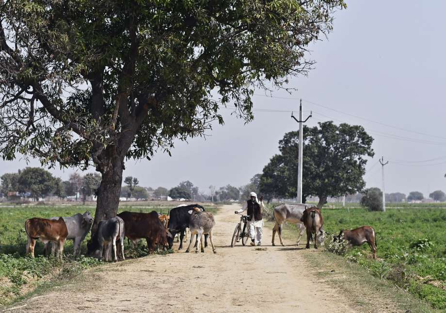 Modi's drive to protect India's sacred cows divides voters
