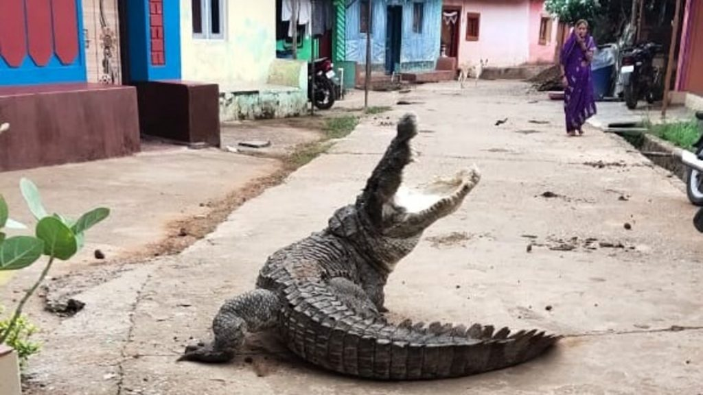 Strolling crocodile sparks panic in India village